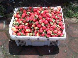 Strawberry Khas Ciwidey